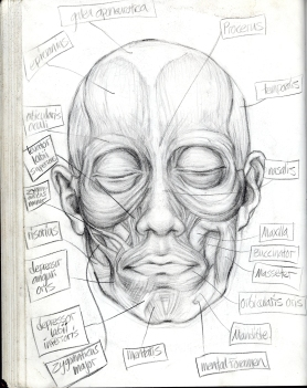 (Sketchbook 2005-7) - Muscles 1 of the Facial type - Graphite