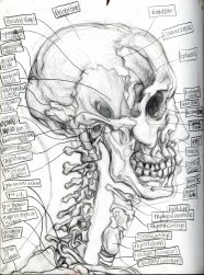 (Sketchbook 2005-7) - Muscles - Skull and Skeleton Study - Graphite