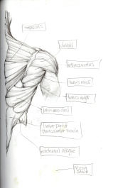 (Sketchbook 2005-7) - Muscles03 - Back Right - Graphite and Pizza Sauce