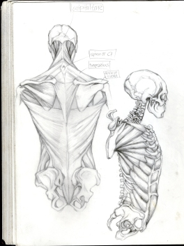 (Sketchbook 2005-7) - Muscular Skeletal System - Back and Side - Graphite