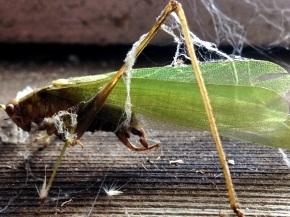 Old Grasshopper